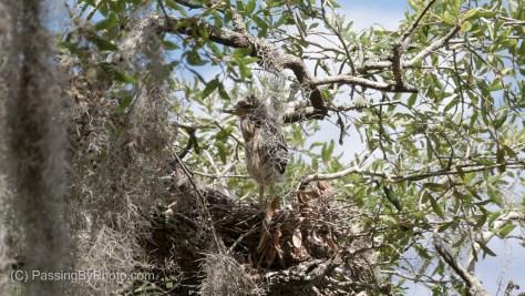 Yellow-crowned Night-heron Chick