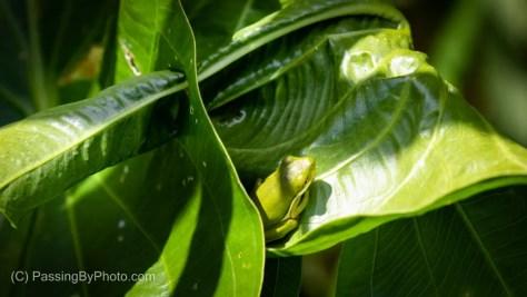 Tree Frog on Big Green Leaf