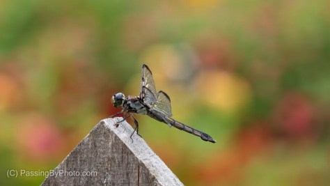 Dragonfly on Fence Picket