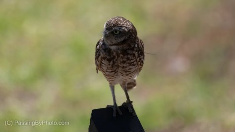 Burrowing Owl, Perched