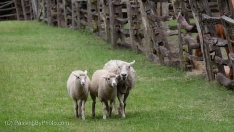 Ewe and Two Lambs