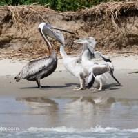 Brown Pelican Chicks Getting Fed