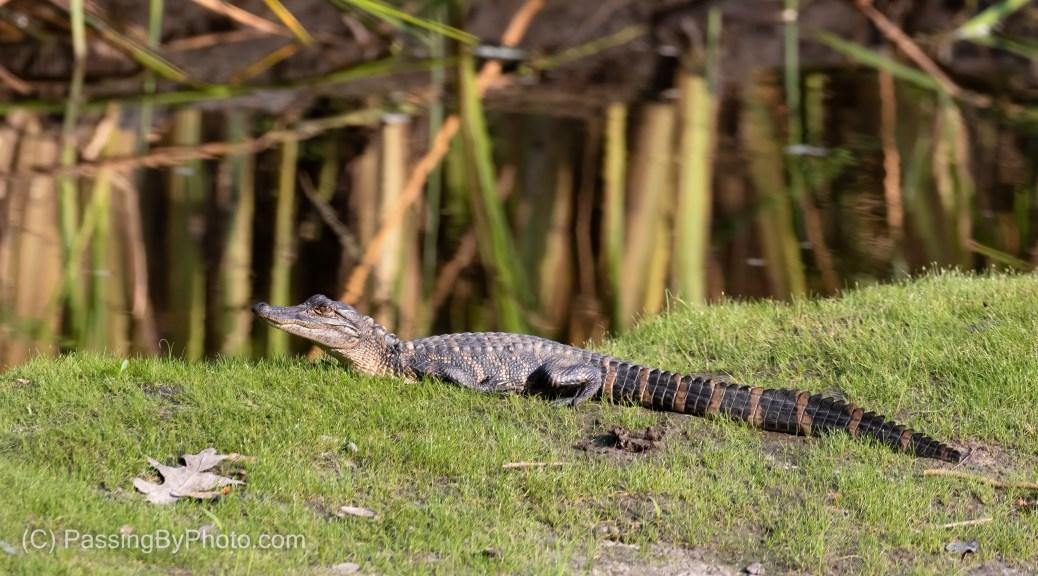 Juvenile Alligator Sunning