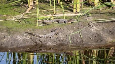 Juvenile Alligators Sunning
