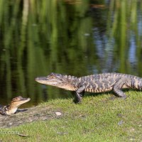 Juvenile Alligator Passing By Another