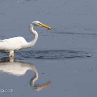 Great Egret Getting Lunch, With Salad