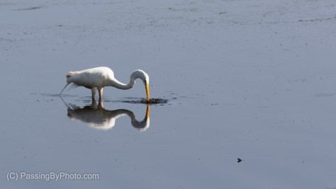 Great Egret Fishing For Lunch