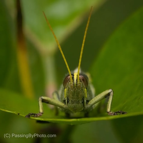 Grasshopper Looking At Me