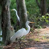 Great Egret - Watcha Doing?
