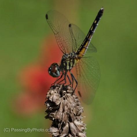 Dragonfly Obelisk Pose