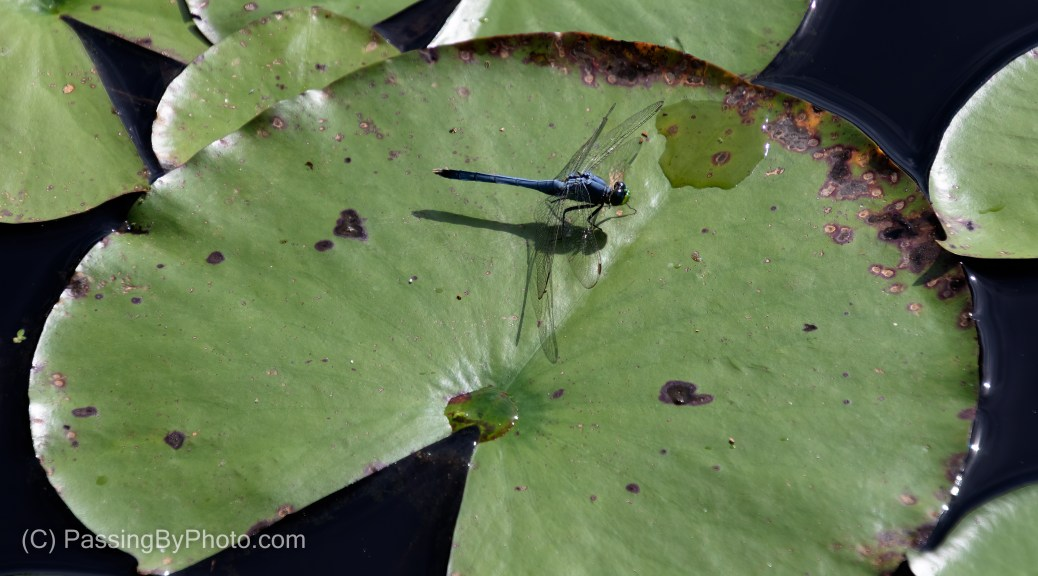 Eastern Pondhawk on Lily Pad