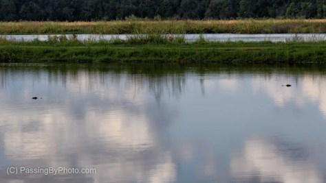 Two Alligators in Pond