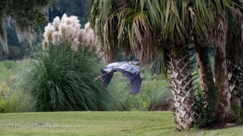 Great Blue Heron Flying Past Palm Tree