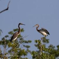 Treetop Tricolored Herons