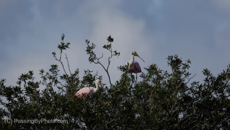 Two Roseate Spoonbills at Tree Top