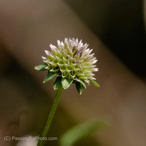 Unknown Flower Head