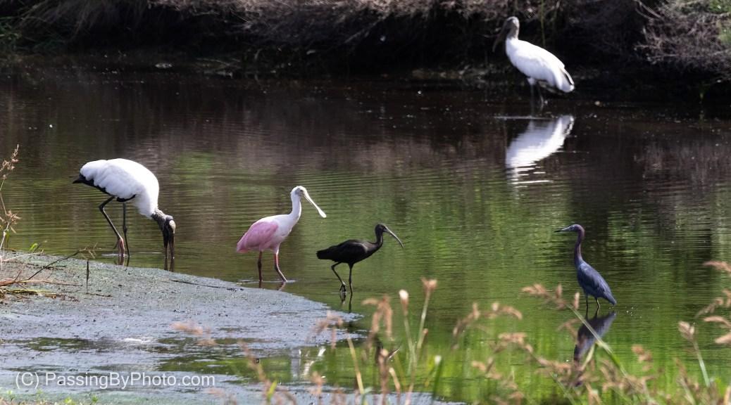 Wood Stork, Roseate Spoonbill, Glossy Ibis, Little Blue Heron
