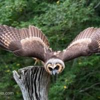 Asian Brown Wood Owl, Flight Demo