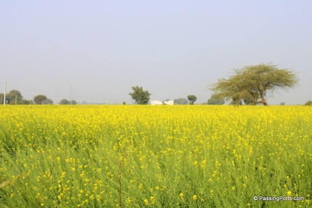 Sarson fields in Gwalior