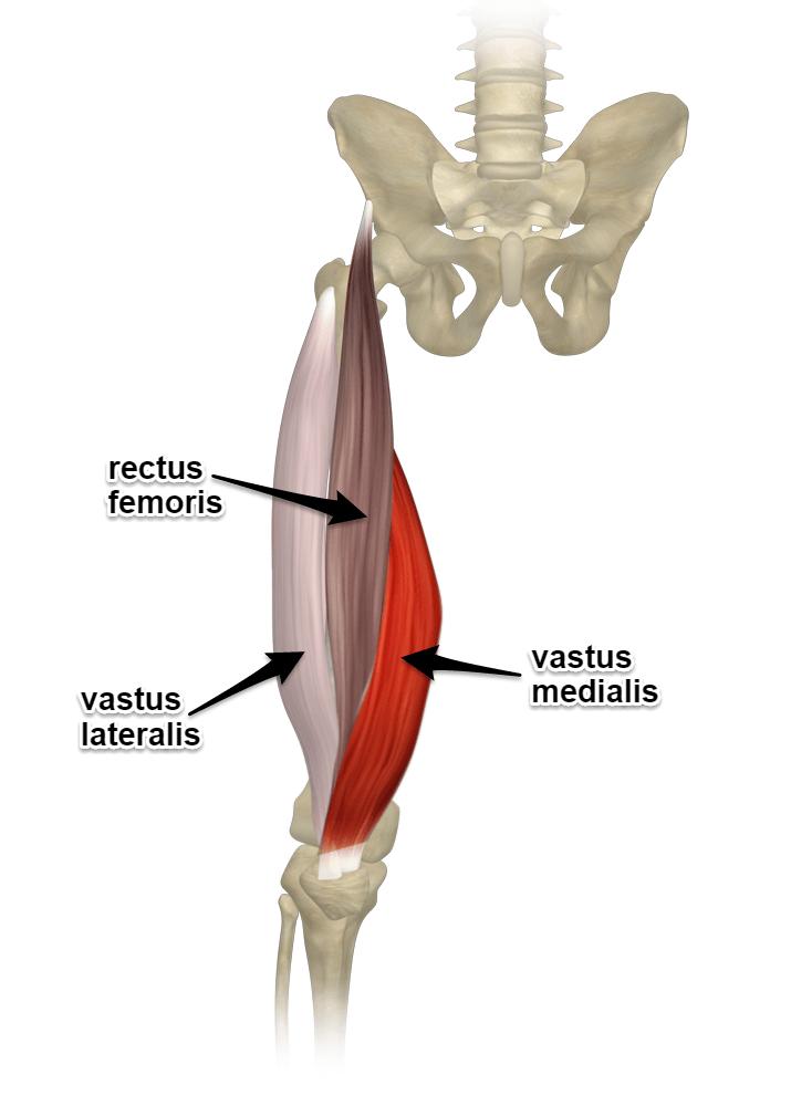 Qu'est-ce que la voile muscle? quadriceps