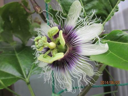 めしべ異常なパッションフルーツの花