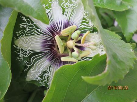パッションフルーツ秋の花2