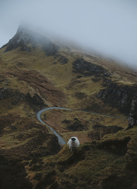 A sheep on the Quiraing on the Isle of Skye.
