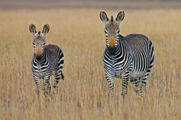 Two Zebras in the grasses, Kruger National Park