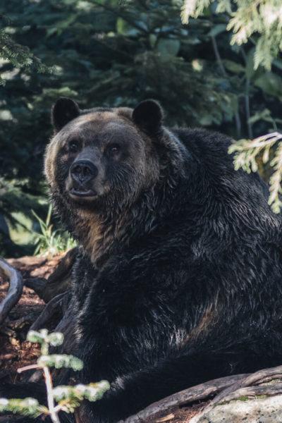 black bear reclining