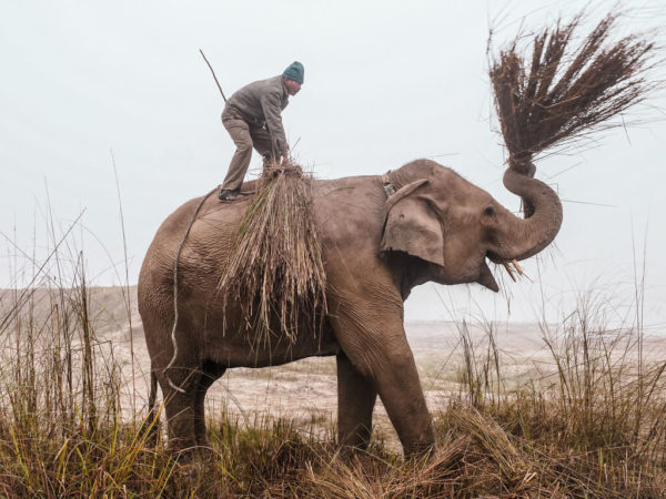 elephant holding grass bundle in its trunk