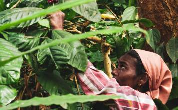 Woman picking Coorg coffee