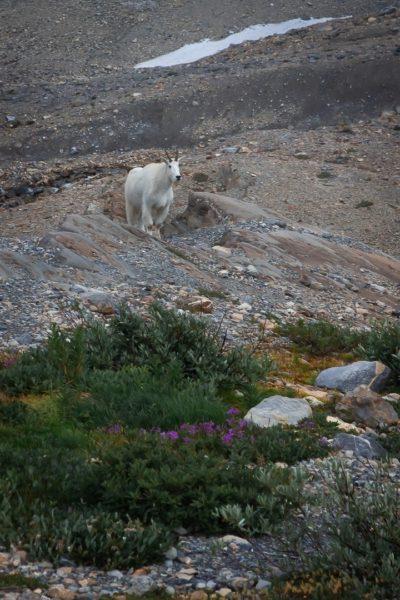 mountain goat on rocky hillside