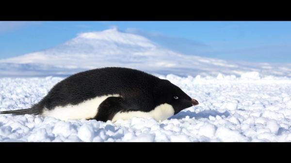 penguin lying on belly on ice field