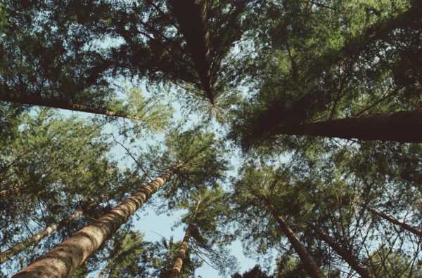 towering trees under blue sky in north wales countryside