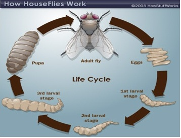 Disease vectors passnownow diagram of the life cycle of housefly ccuart Gallery