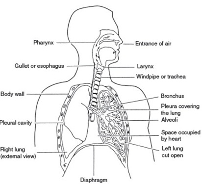 MECHANISM OF RESPIRATORY SYSTEM IN LOWER ANIMALS