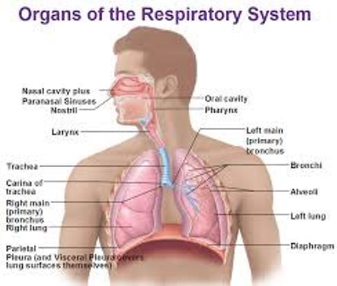 Respiratory System | Passnownow.com