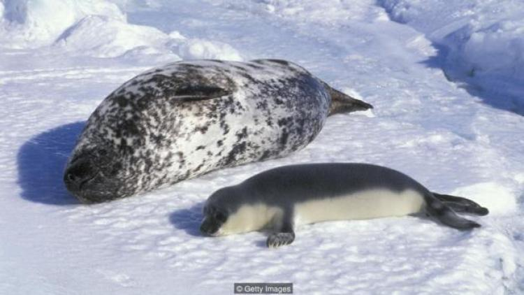 hooded seals