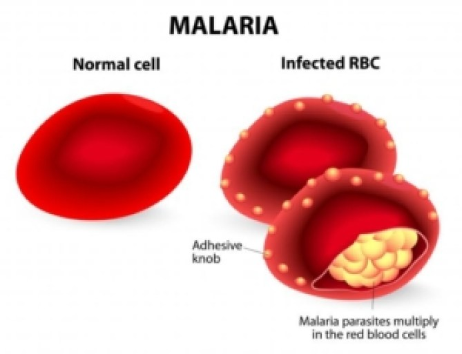 malaria-parasites-invade-the-red-blood-cells-multiplying-quickly