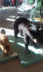bear and beavers, Hugo Morel