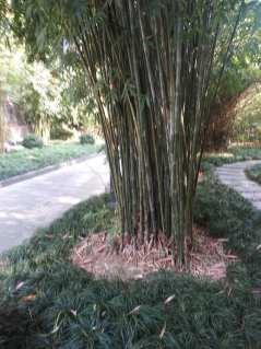 A cluster of green bamboo photo courtesy of Hugo Morel