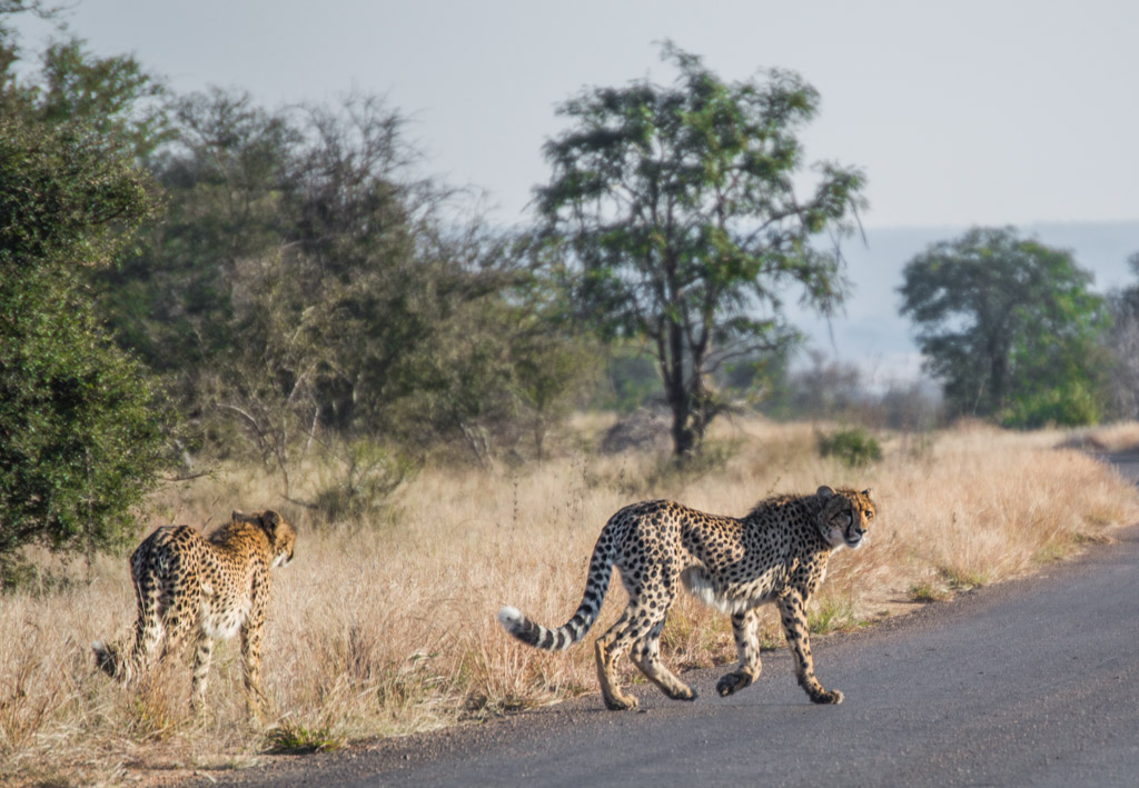 Our amazing cheetah sighting