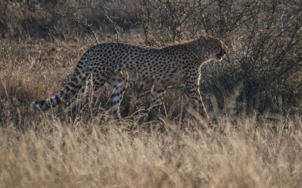 Cheetah sighting in the north of Kruger