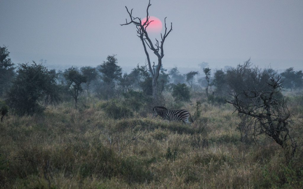 Zebras with a rising sun behind
