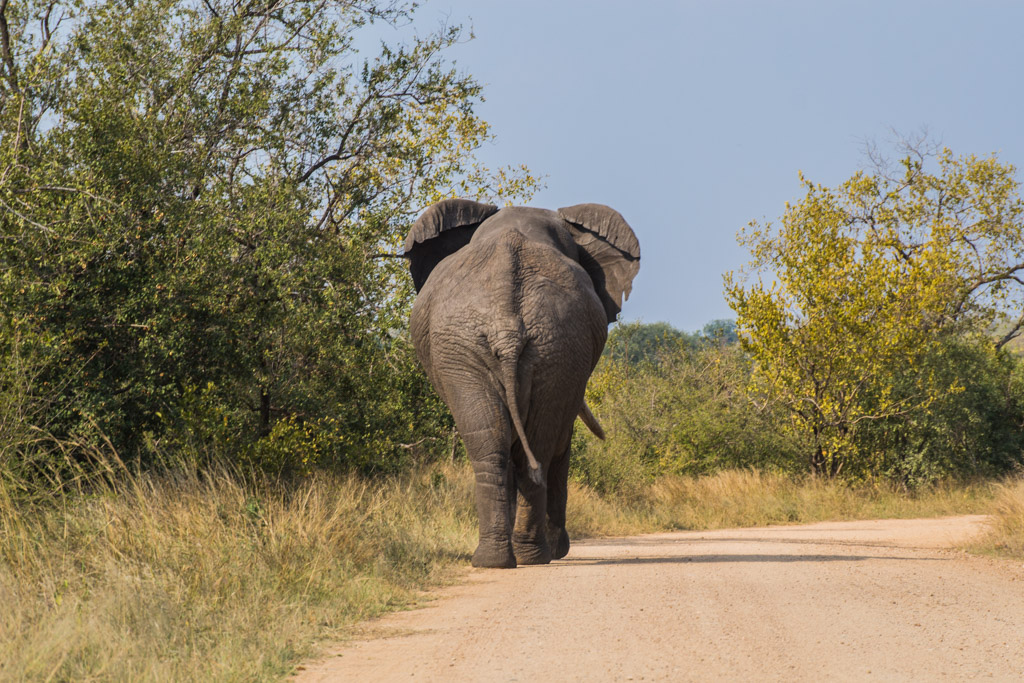 Our favorite type of roadblock- an elephant!