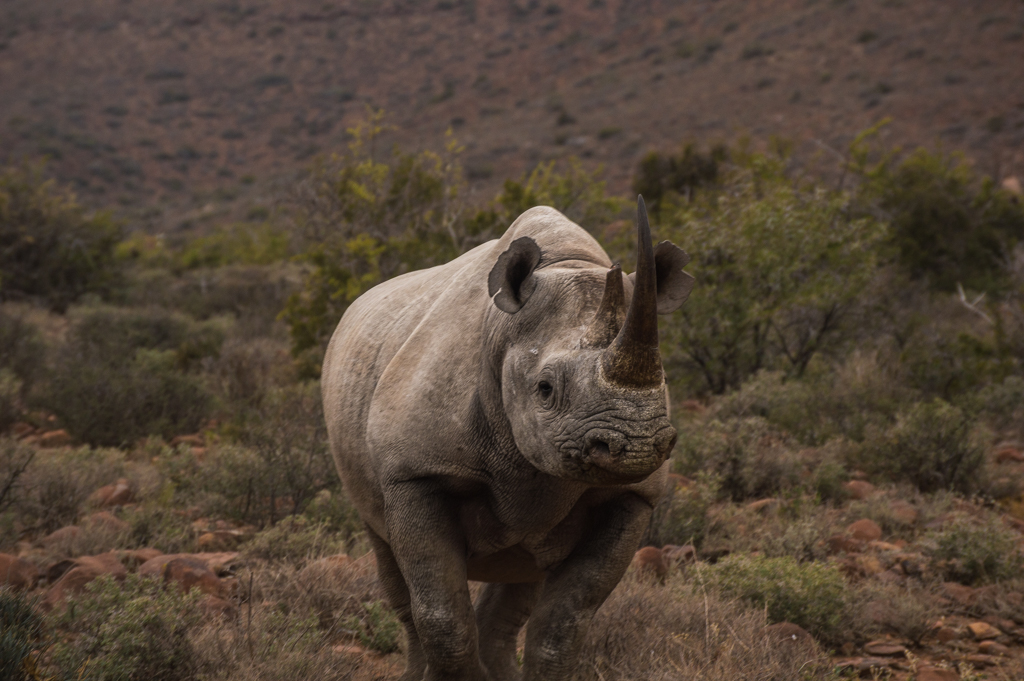 A beautiful black rhino in Karoo National Park.