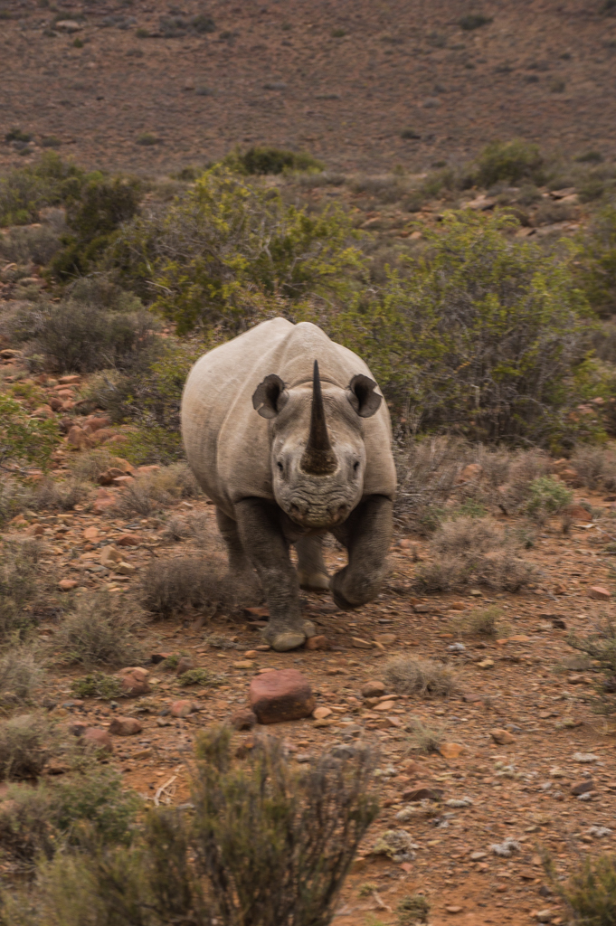 We were happy to see a black rhino, but it was not happy to see us!