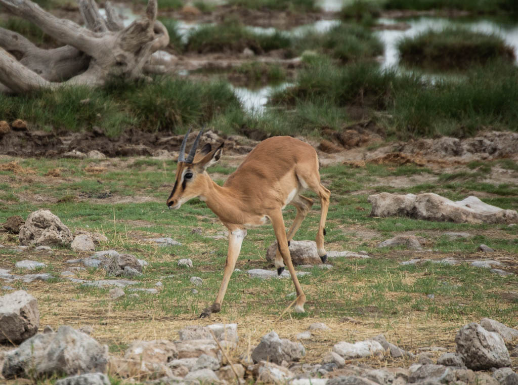 Impala playing in Etosha