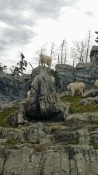 Rocky Mountain Goat, Canadian Wilds, Calgary Zoo