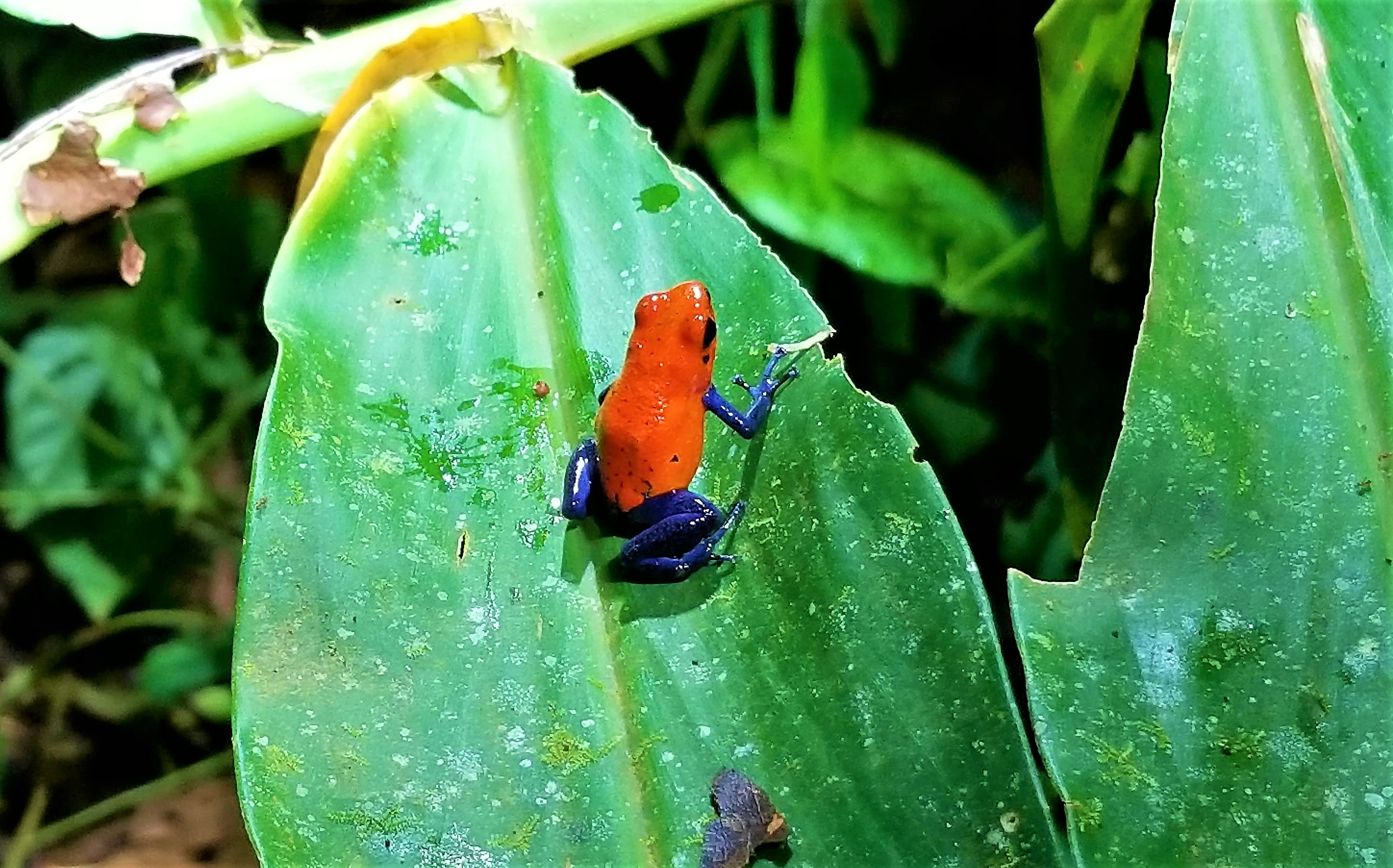 Blue Jeans Poison Dart Frog, Tree Houses Hotel, Costa Rica